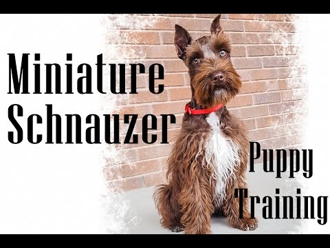 Miniature Schnauzer Puppy On-Leash Training - Tagg at 4 months