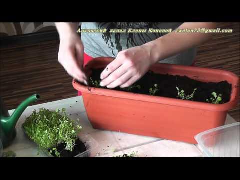 Лобелия выращивание рассады в апреле Ч.1