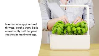 How To Prune Basil So It Lasts For 90 Days