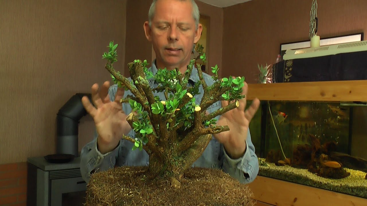we make a big new bonsai boxwood buchsbaum with detlef. Black Bedroom Furniture Sets. Home Design Ideas