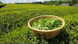 رجيم الشاي الاخضر لتخسيس 7 كيلو فى 10 ايام
