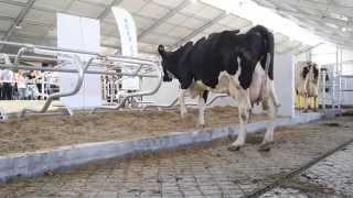 Otwarcie nowej obory wolnostanowiskowej w zakładzie nasienno-rolnym Danko