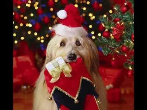 Immagini Natalizie Con Cani.Auguri Di Buon Natale Cantata Dai Cani