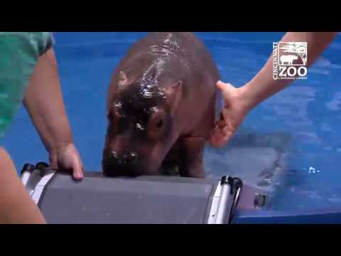 Premature Baby Hippo Fiona Gets a Ramp for Her Pool - Cincinnati Zoo