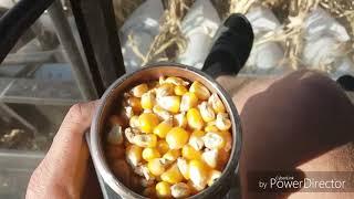 Уборка кукурузы на New Holland TC 5.90. Настройка и регулеровка молотьбы. Отзыв о жатке OROS.