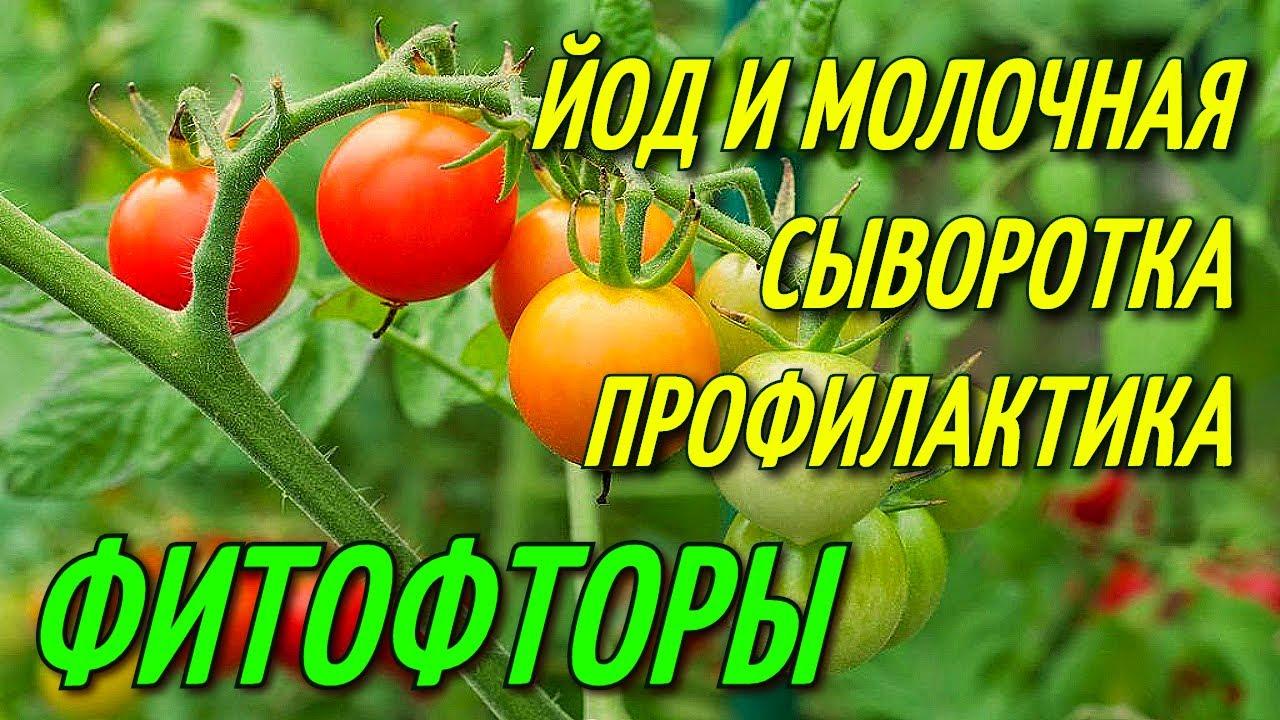 Смотреть Обработка помидоров йодом как средство борьбы с фитофторой видео
