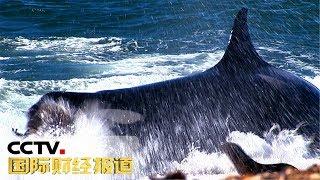 [国际财经报道]探秘全球动物保护区 阿根廷瓦尔德斯半岛:享受与鲸近距离接触| CCTV财经