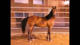 FOR SALE: Milo Oct 2013- Morgan Gelding