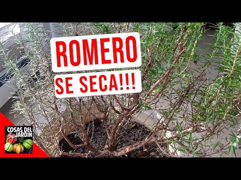 ROMERO SE SECA! SALVALO CON ESTOS CONSEJOS