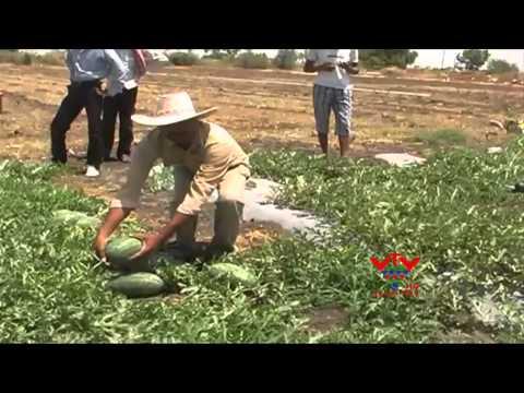 VTV - IZRAIL WATERMELON FARMING BY FARMERS - MORBI
