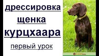 Дрессировка щенка курцхаара - первый урок