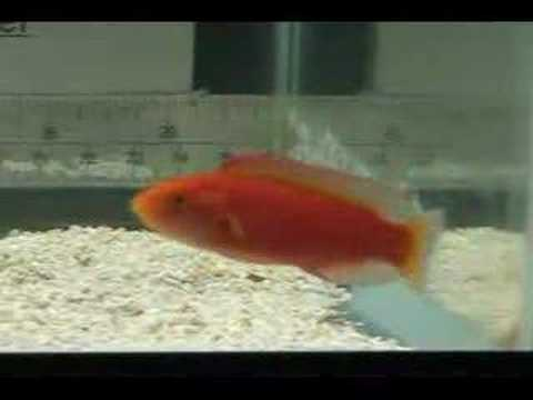 Flame Wrasse Femalempg Youtube