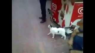 Кот чуть не порвал ротвелера!!!