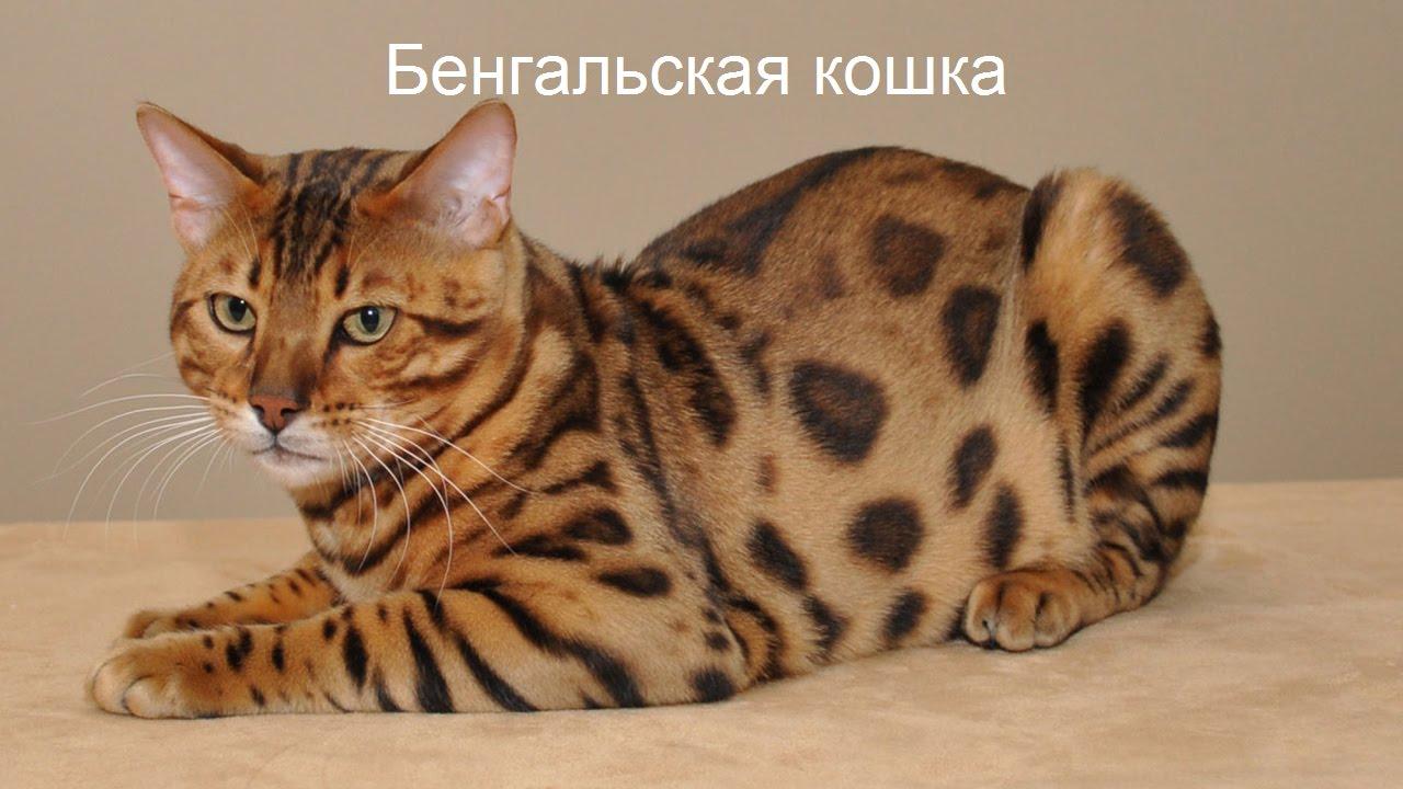 Продажа, предложения купить или взять в добрые руки котов, кошек, котят породы бенгальская кошка в киеве и по украине. Возможность бесплатно дать объявление о продаже взрослого кота или котенка бенгальской кошки с 20 фото и видео.