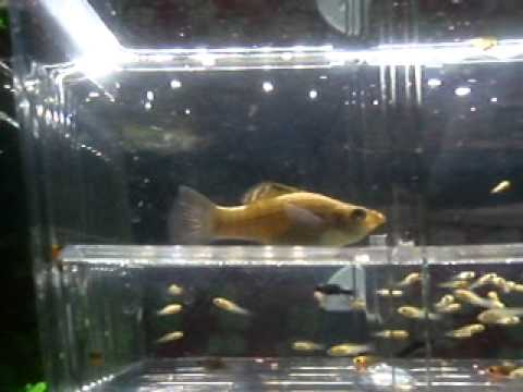 A molly fish giving birth youtube for Molly fish babies
