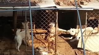 Собачьи бои(Собаки не поделили пищу., 2014-01-31T03:03:35.000Z)