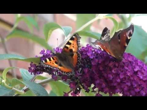 Schmetterlingsstrauch Sommerflieder Buddleja davidii 2013