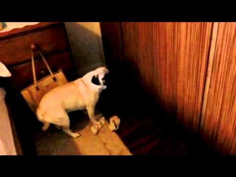 how to stop a beagle from reverse sneezing