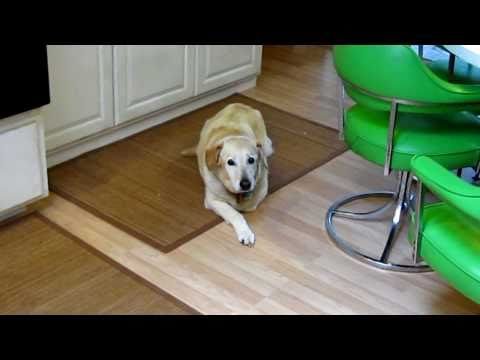 Walkin Wheels Dog Wheelchair Yellow Lab handicapped disabled IDD Intervertebral Disk Disease