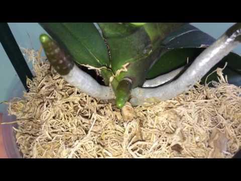 Молодые корни орхидеи растут вверх, направляем в горшок (часть 2)