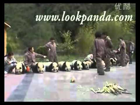 Grand scene of pandas'drinking milk in line after earthquake