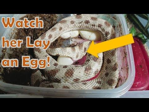 Hognose Snake Laying an Egg (on Camera)!
