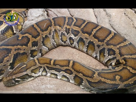 WOW! Amazing Sound Of Python Snake || The Burmese python - YouTube