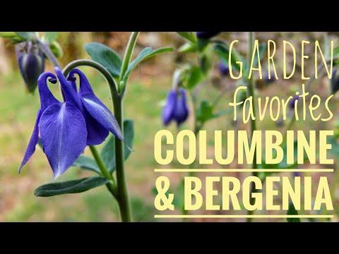 Columbine & Bergenia: Garden Favorites