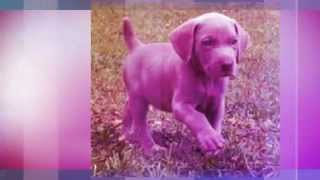 Weimaraner Puppy Training