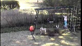 Golden Retriever Puppy Attacks Swing And Small Child