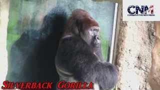 WOW - 475 Pound Silverback Gorilla!