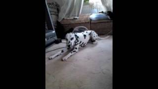 Dalmatian Barking To Music
