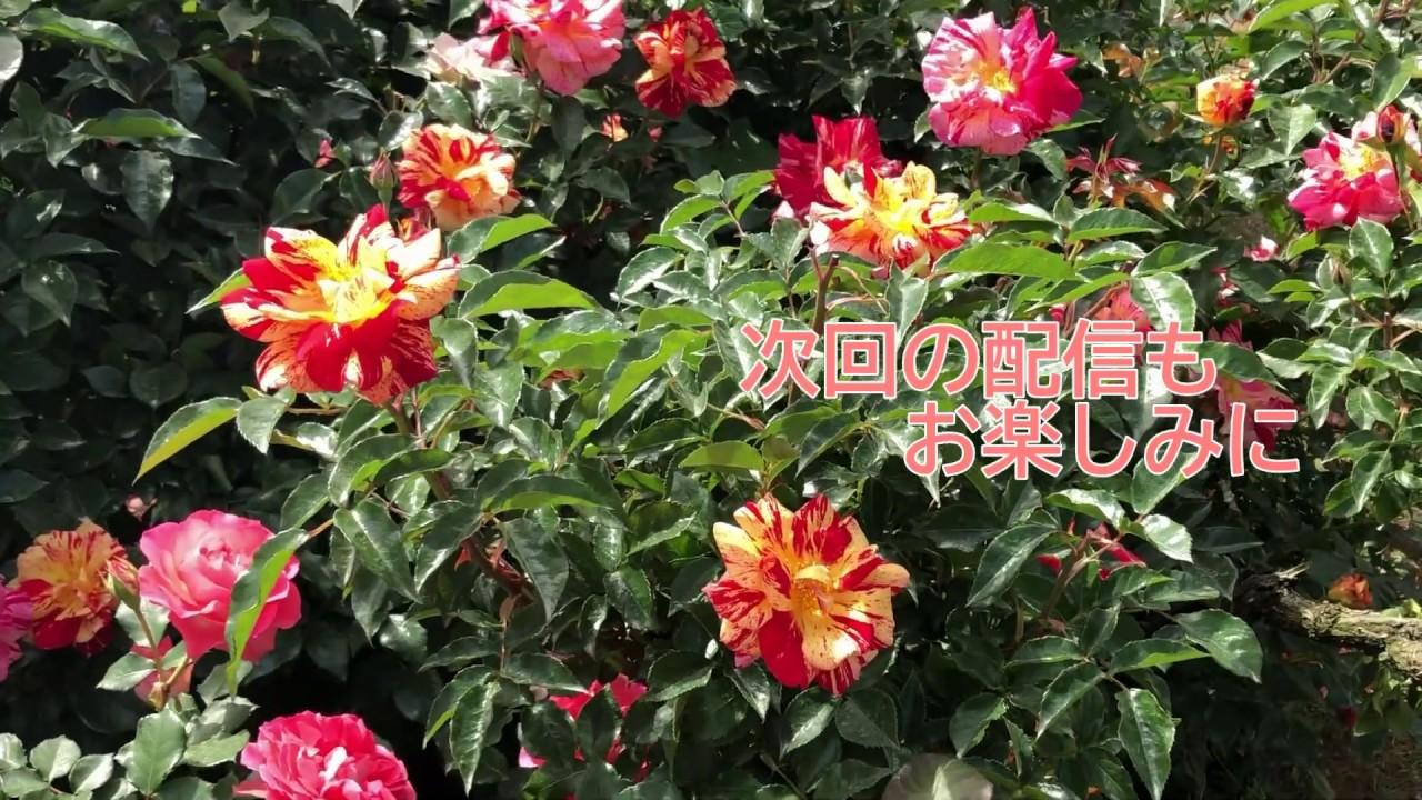 京成バラ園散策part2 ~村上敏の実況中継と共に、一緒にバラ園を散策しませんか?~(2020年5月15日撮影)