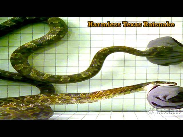 383e83f9876 L attaque d un serpent