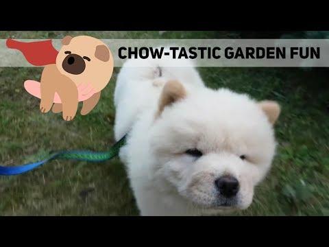 CHOW CHOW PUPPY'S GARDEN MISCHIEF