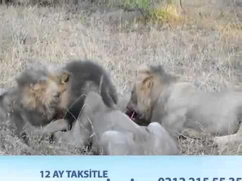 Domuzu Canlı Yiyen Gaddar Aslanlar
