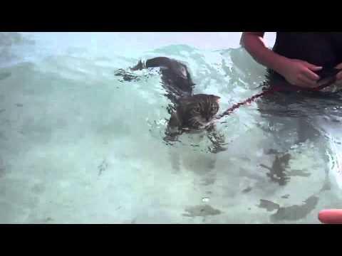 Bengal Cat Swimming in Ocean