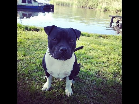 Staffordshire bull terrier- Beautiful dog