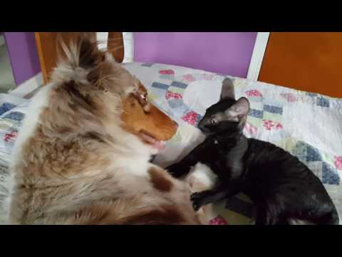 Cornish Rex kitten and Australian Shepherd