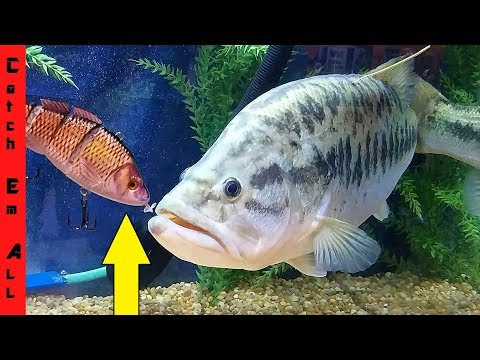 ROBOTIC FISH LURE vs 12lb GIANT!