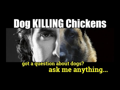 How Do I Get My HUSKY to STOP Killing Chickens - ask me anything