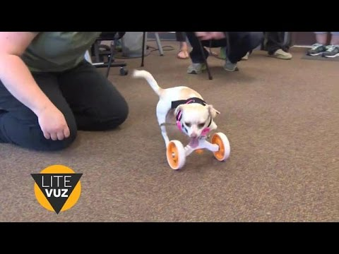 Puppy born with no front legs gets 3-D printed wheels