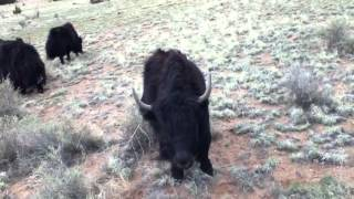 Yak the Animal ~ Yak Videos of Herding Yak back Home, and Yak Photos