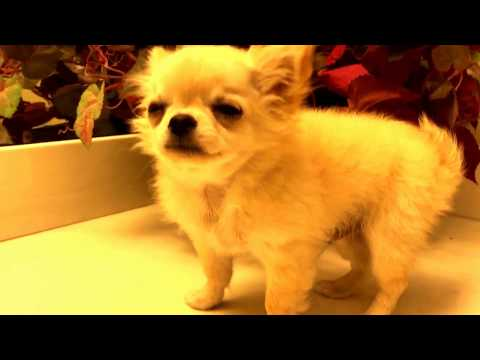 Teeny tiny chihuahua puppy see himself for the first time.. watch what happens next!