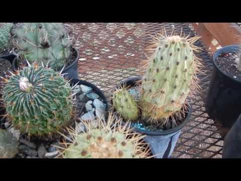 SEED GROWN ARGENTINA GIANT CACTUS TRICHOCEREUS TERSCHECKII MESCALINE PLANT