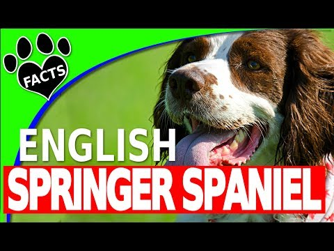 English Springer Spaniel  - Dogs 101