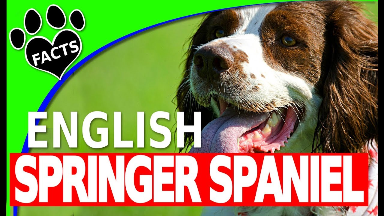 Dogs 101: English Springer Spaniel  - Animal Facts