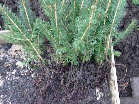 Как посадить саженец голубой ели в грунт? Выращивание ели колючей ф.голубая
