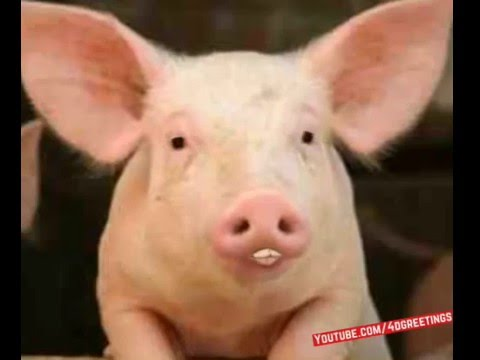 happy-birthday-talking-pig-greeting