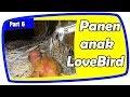Panen Anak LoveBird Kandang Baterai dan Koloni Part 6